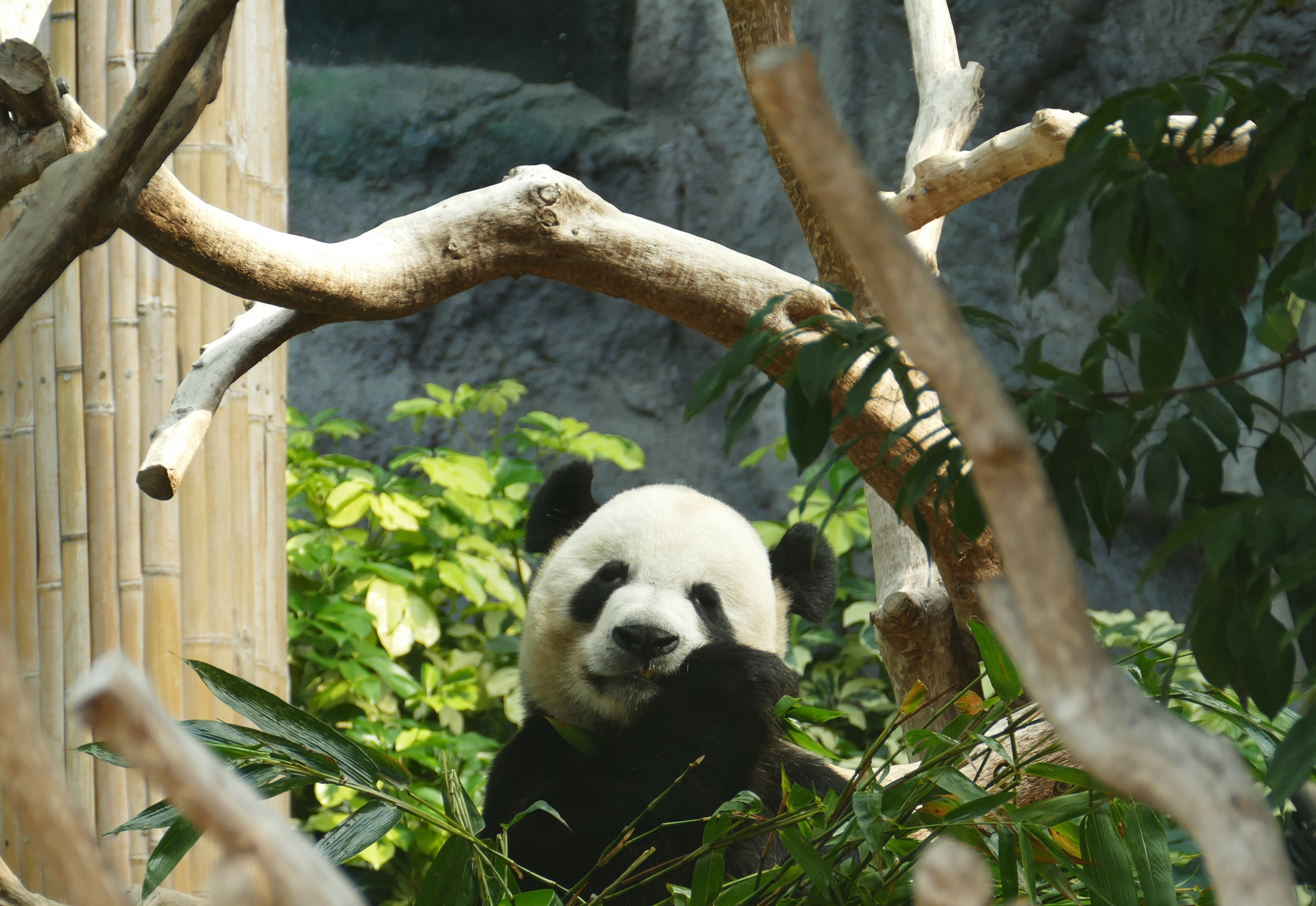 112017 download wallpaper Animals, Panda, Bamboo, Wood, Tree screensavers and pictures for free