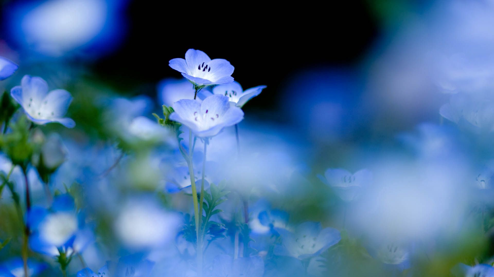 114350 free download Blue wallpapers for phone, Macro, Bloom, Flowering, Flowers Blue images and screensavers for mobile