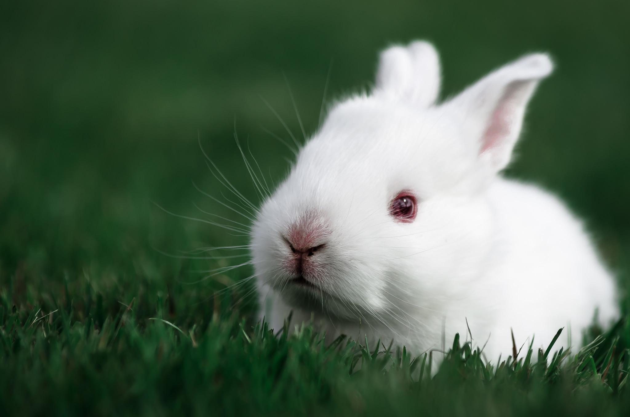 105231 Hintergrundbild herunterladen Kaninchen, Tiere, Grass, Schnauze - Bildschirmschoner und Bilder kostenlos