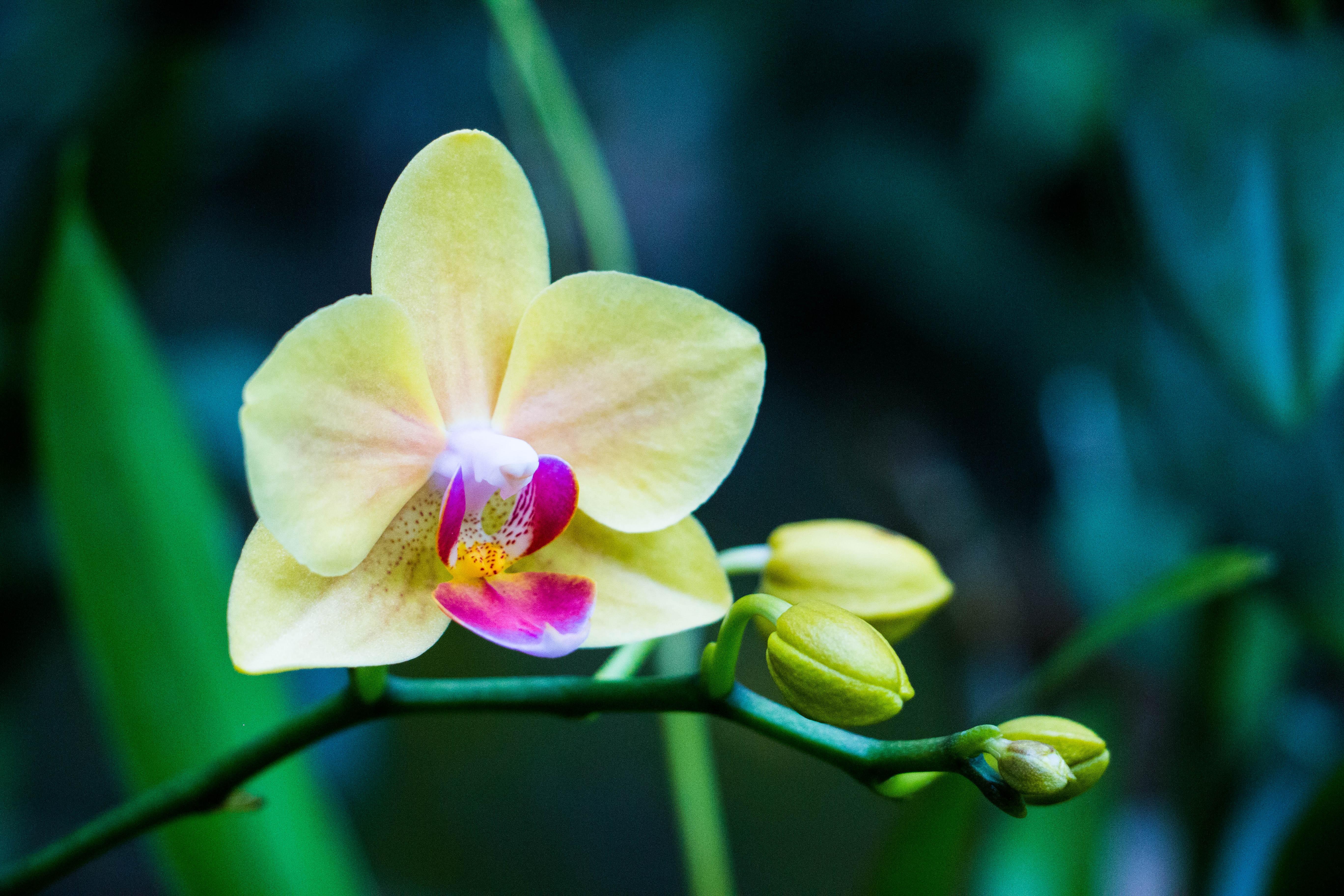 94631 скачать обои Лепестки, Цветы, Цветок, Бутон, Орхидея - заставки и картинки бесплатно