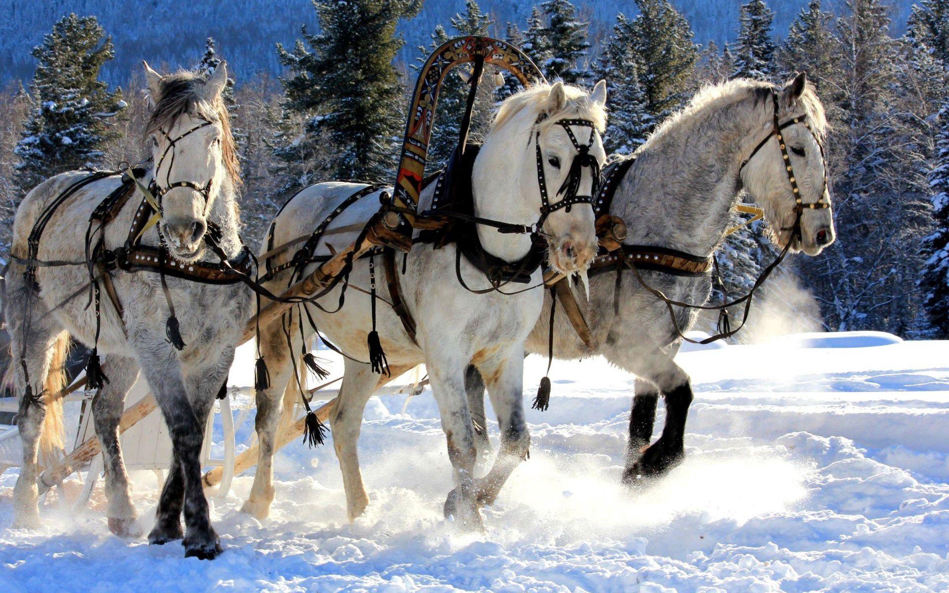 74362 descargar fondo de pantalla Animales, Caballos, Tres, Equipo, Nieve, Trineo: protectores de pantalla e imágenes gratis