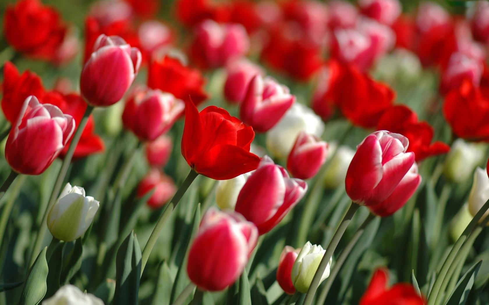 9315 скачать обои Растения, Цветы, Тюльпаны - заставки и картинки бесплатно