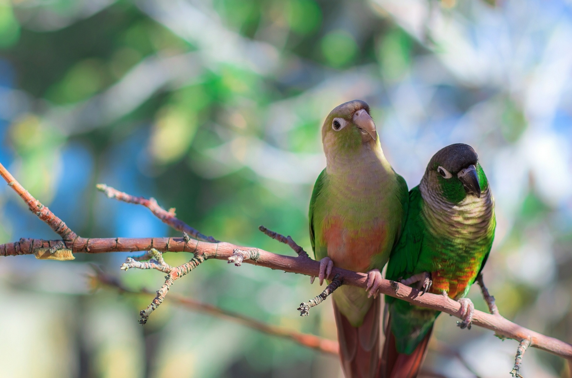 114473 Screensavers and Wallpapers Sit for phone. Download Bird, Animals, Parrots, Sit, Branch pictures for free