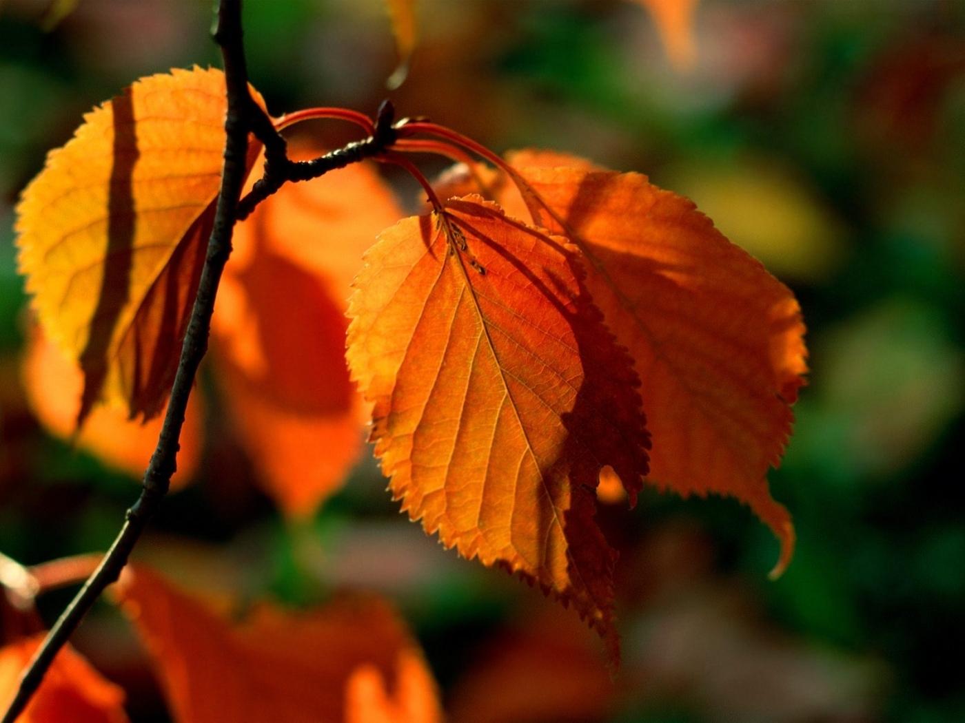 27856 скачать обои Растения, Осень, Листья - заставки и картинки бесплатно