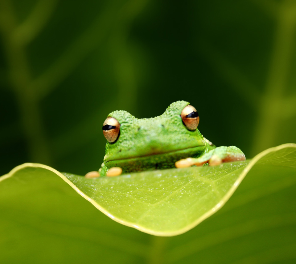 Download mobile wallpaper Animals, Frogs for free.