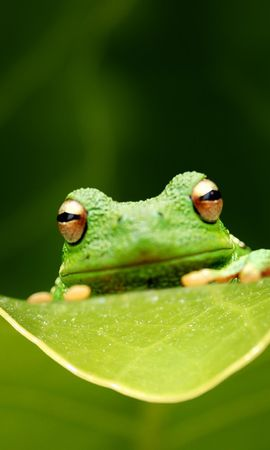 11318 download wallpaper Animals, Frogs screensavers and pictures for free