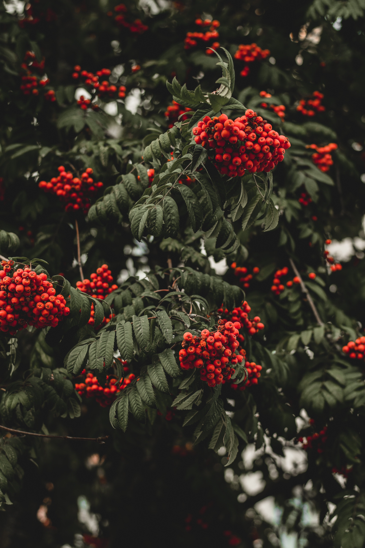91683 papel de parede 1080x2400 em seu telefone gratuitamente, baixe imagens Natureza, Outono, Berries, Galho, Ramo, Rowan 1080x2400 em seu celular