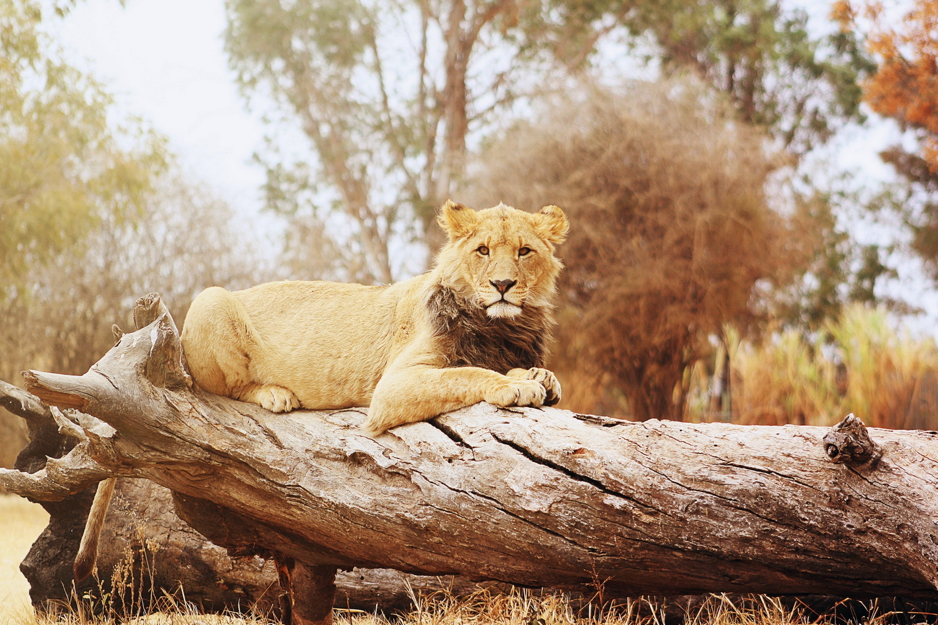 114144 download wallpaper Animals, Lion, Log, To Lie Down, Lie, Big Cat, Predator screensavers and pictures for free