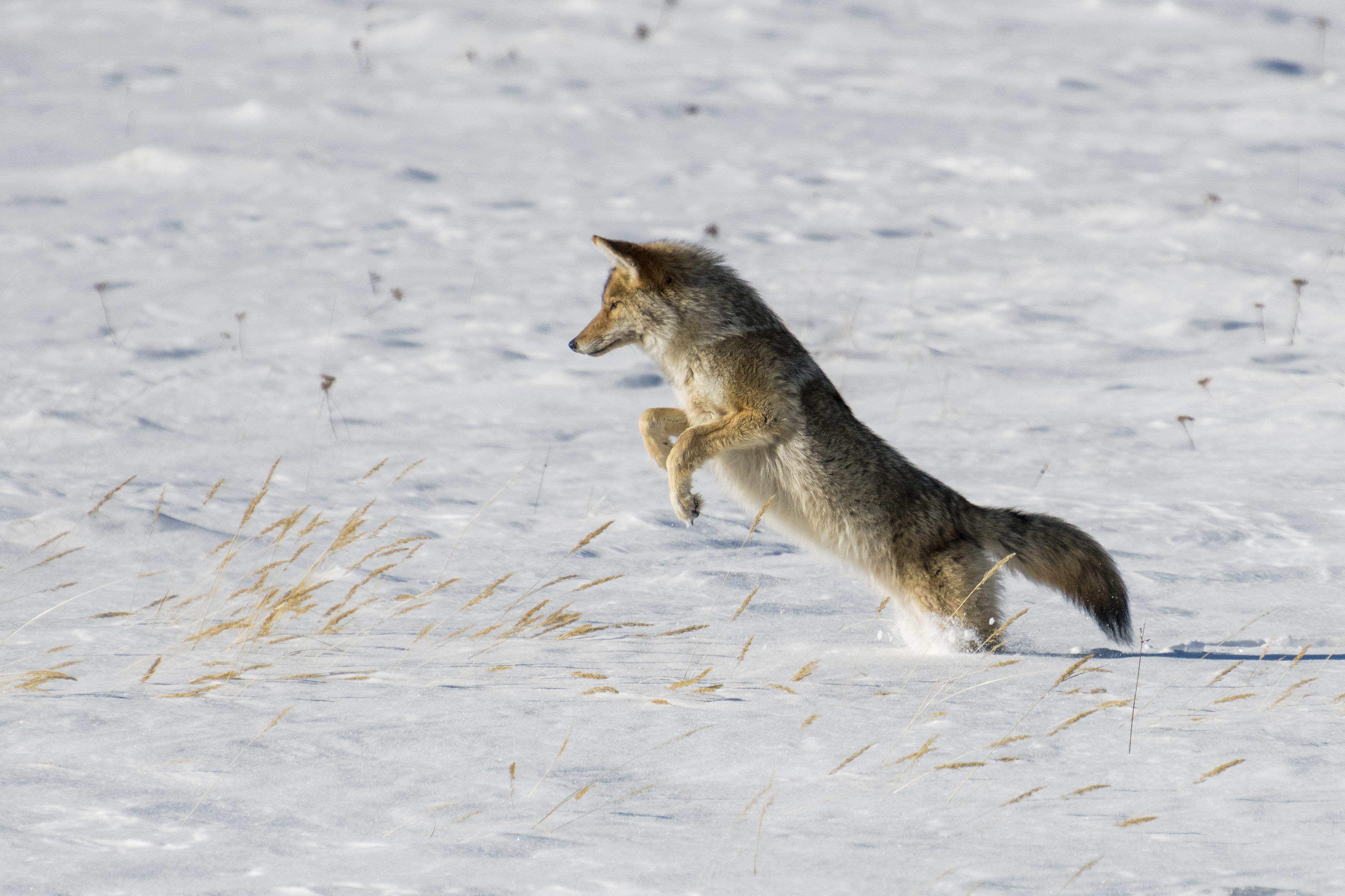 96313 скачать обои Животные, Койот, Прыжок, Охота, Снег, Хищник, Дикая Природа - заставки и картинки бесплатно