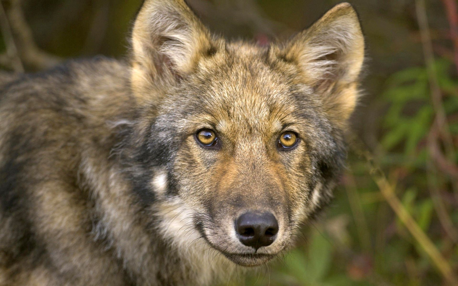 72404 download wallpaper Animals, Wolf, Forest, Muzzle, Hunting, Hunt, Sight, Opinion screensavers and pictures for free