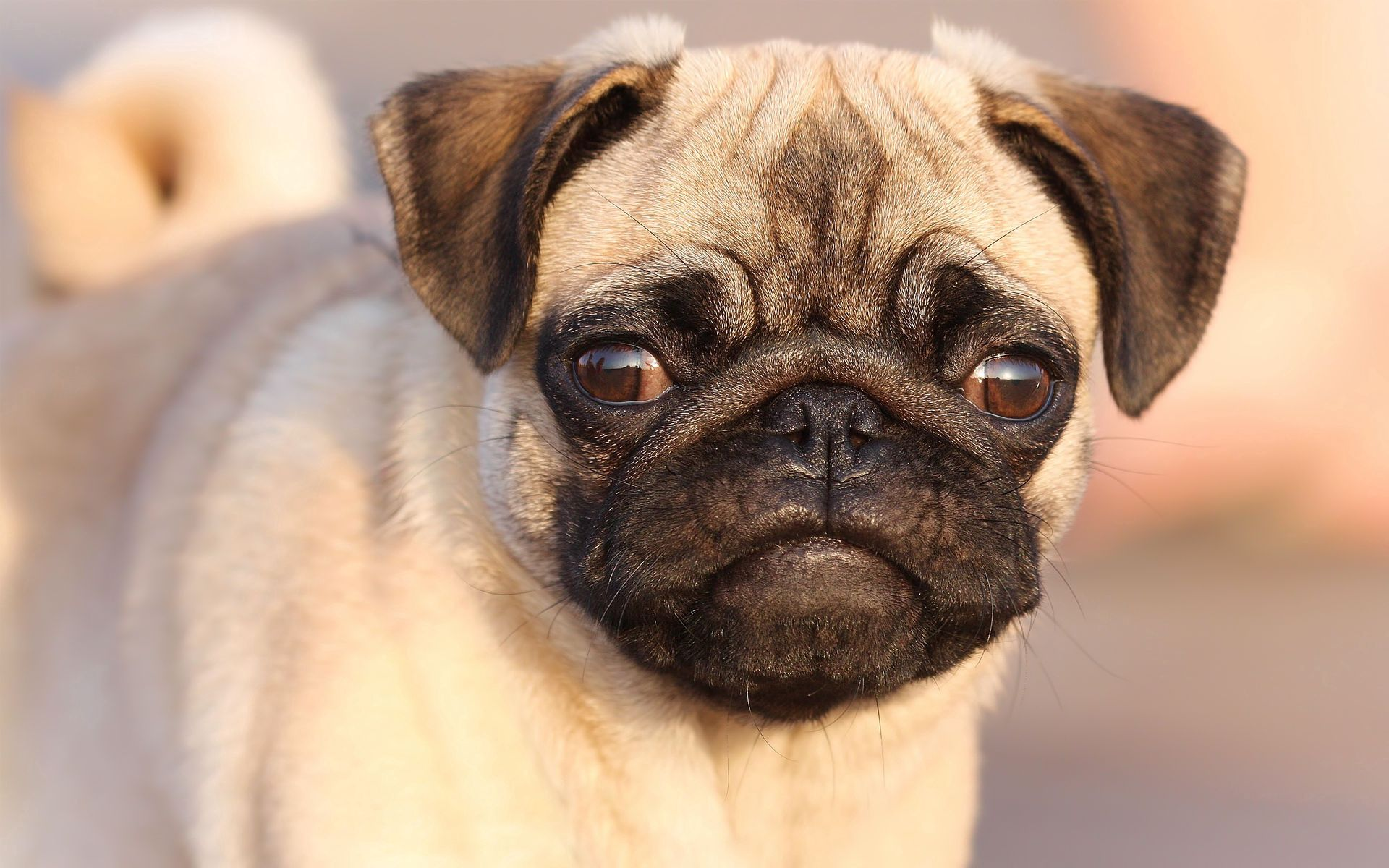 126178 download wallpaper Animals, Pug, Muzzle, Sight, Opinion, Puppy, Dog screensavers and pictures for free