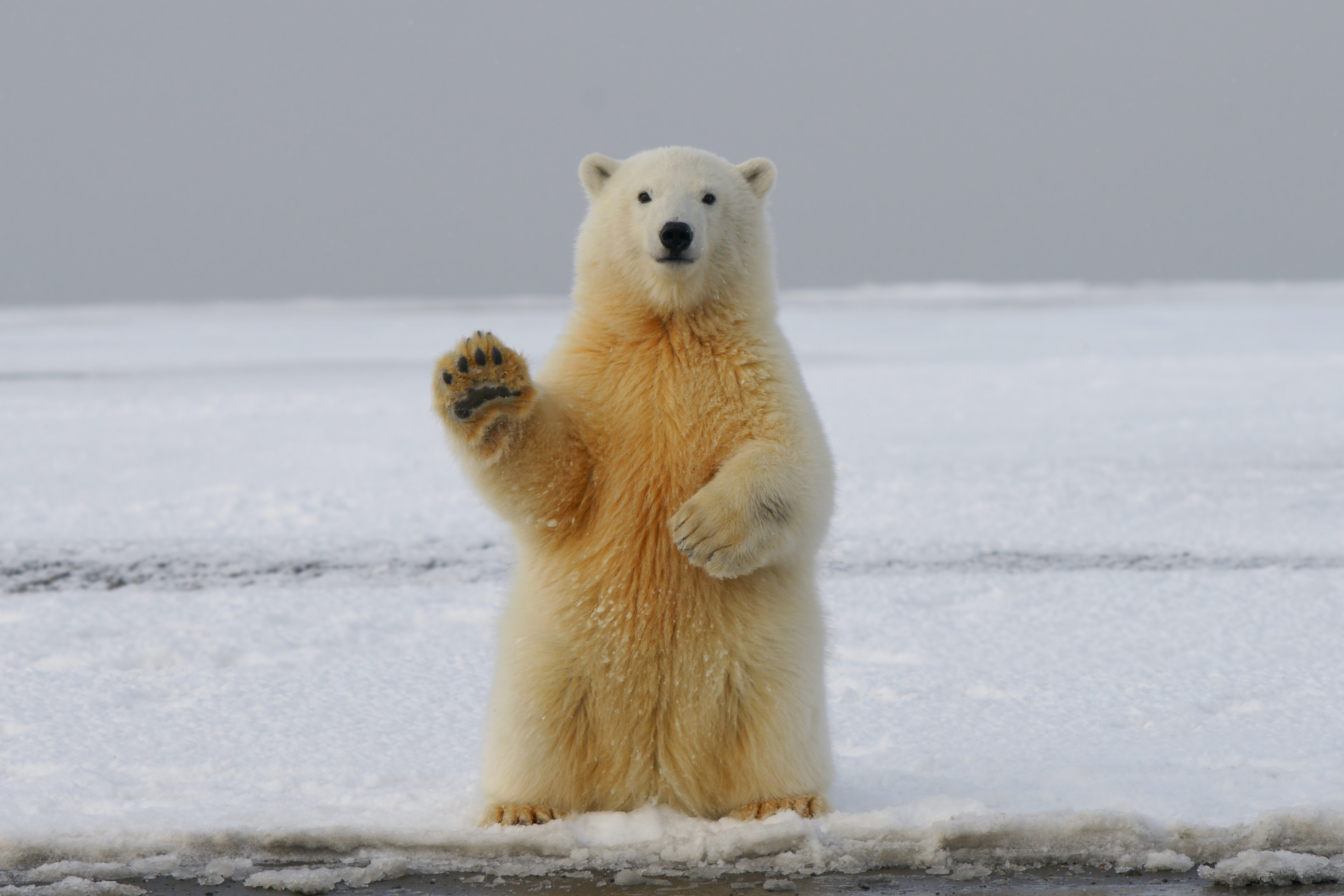112817 download wallpaper Animals, Polar Bear, Bear, Paw, Funny screensavers and pictures for free