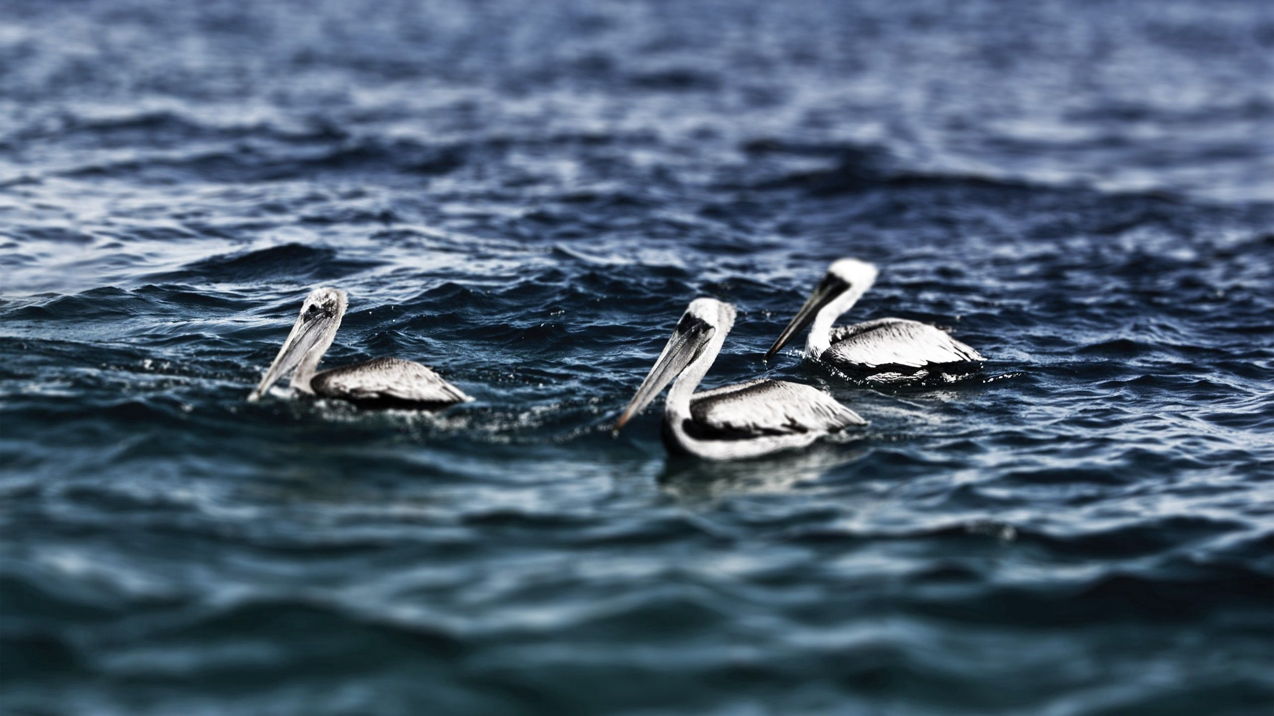 93759 download wallpaper Animals, Sea, Water, Swimming, Birds, Pelicans screensavers and pictures for free