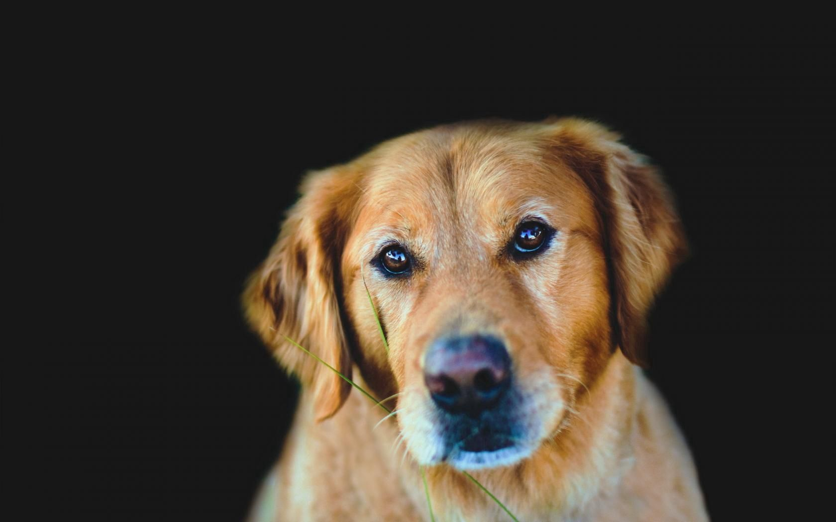 155728 download wallpaper Animals, Dog, Muzzle, Background, Dark, Sight, Opinion, Sadness, Sorrow screensavers and pictures for free