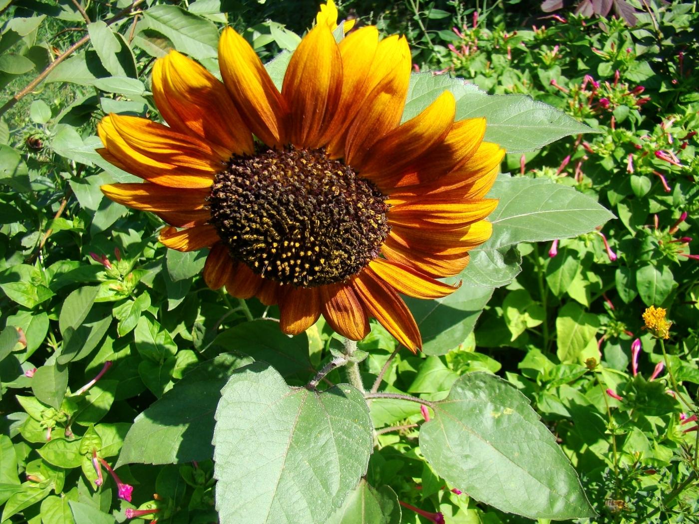 42915 скачать обои Растения, Подсолнухи - заставки и картинки бесплатно