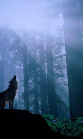 36213 baixar papel de parede Animais, Lobos - protetores de tela e imagens gratuitamente