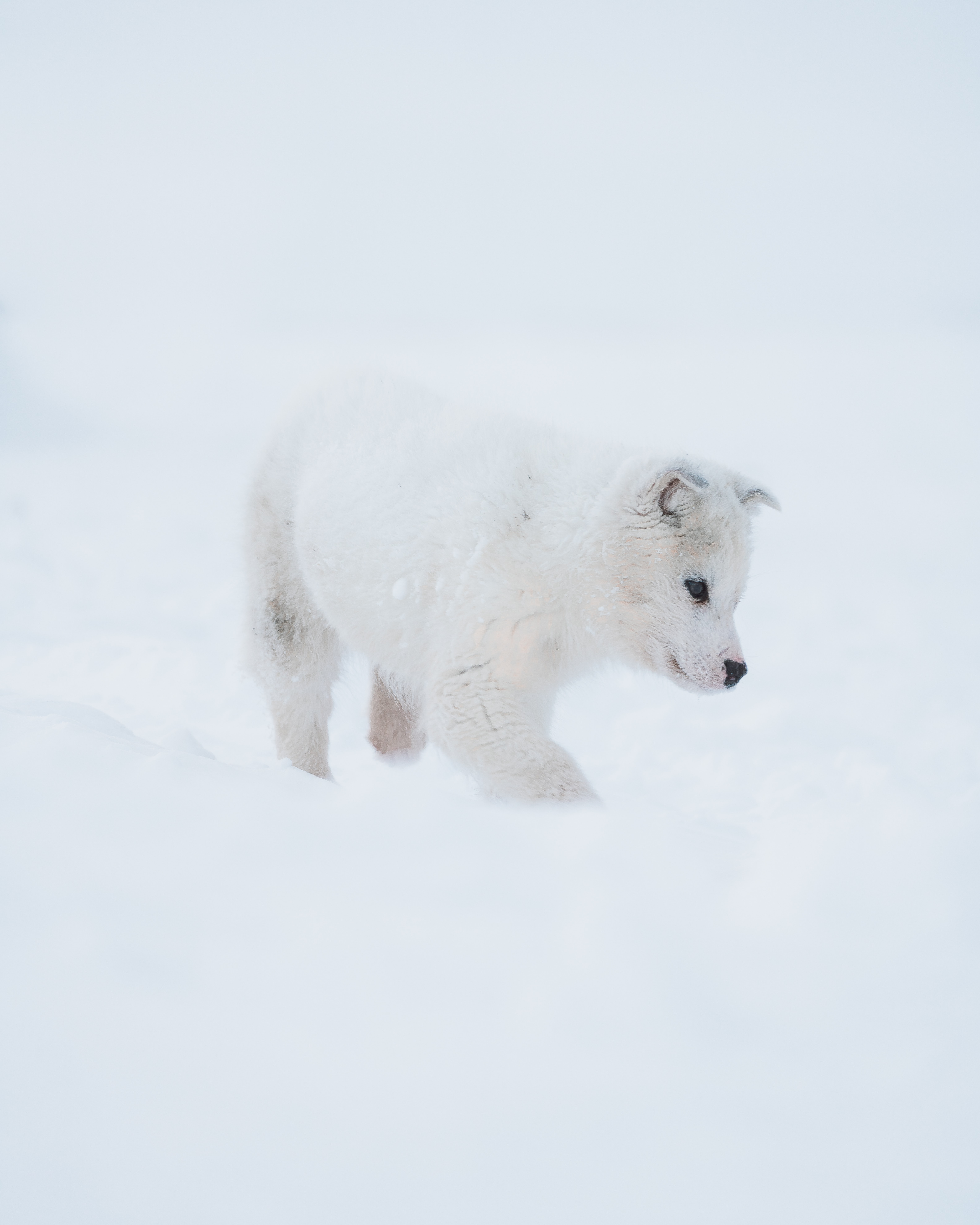 154526 Screensavers and Wallpapers Husky for phone. Download Animals, Snow, Dog, Puppy, Husky pictures for free
