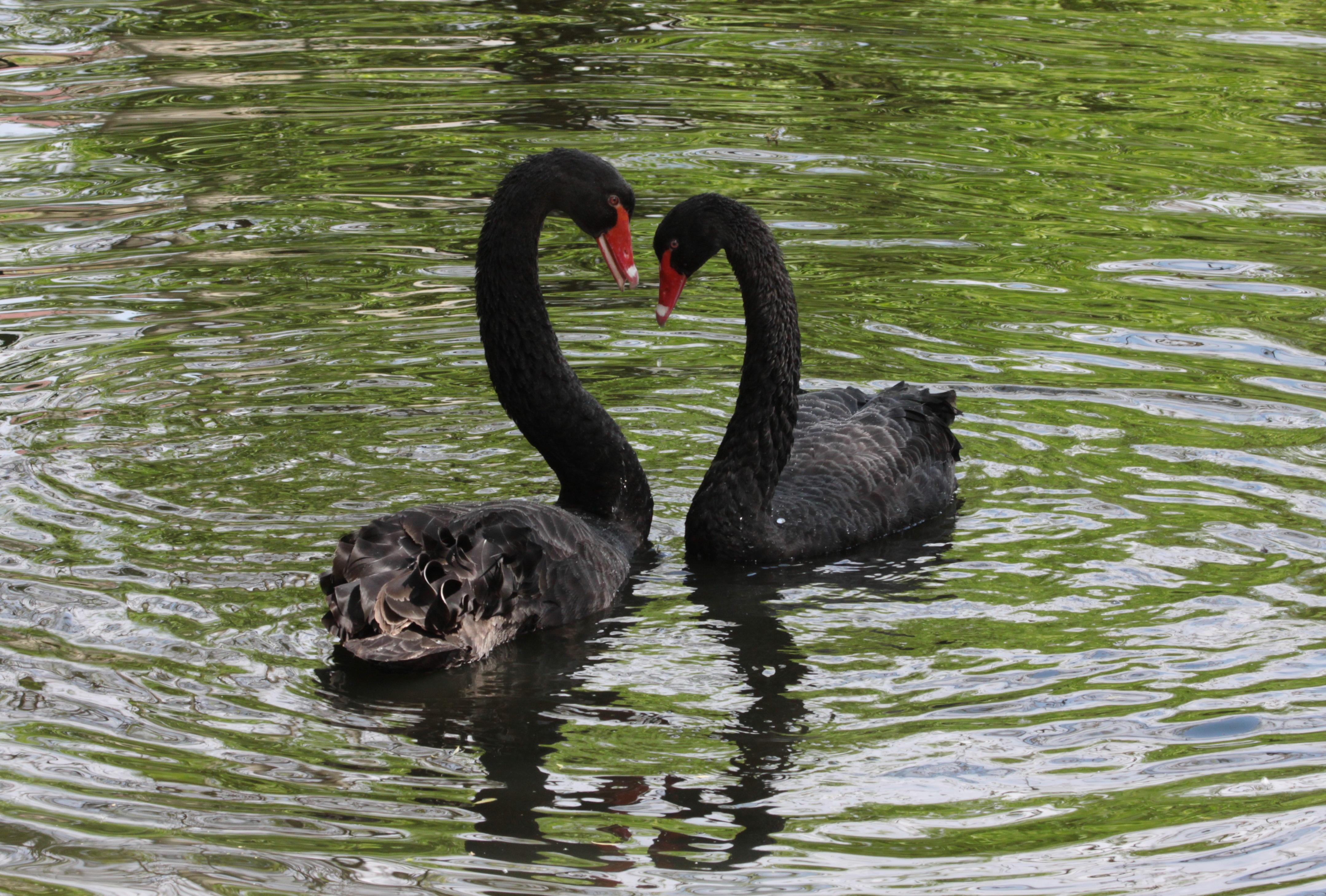 68336 Hintergrundbild herunterladen Tiere, Vögel, Swans, Reflexion, Paar - Bildschirmschoner und Bilder kostenlos