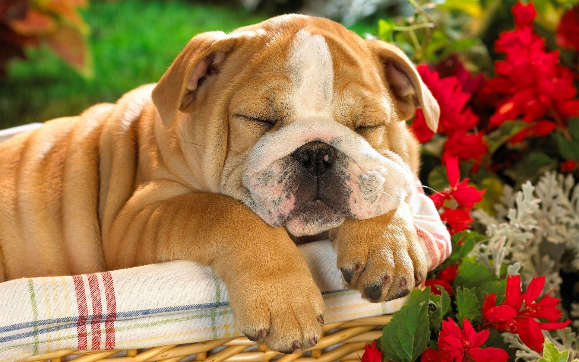 88850 download wallpaper Animals, English Bulldog, Puppy, Basket, Dog screensavers and pictures for free