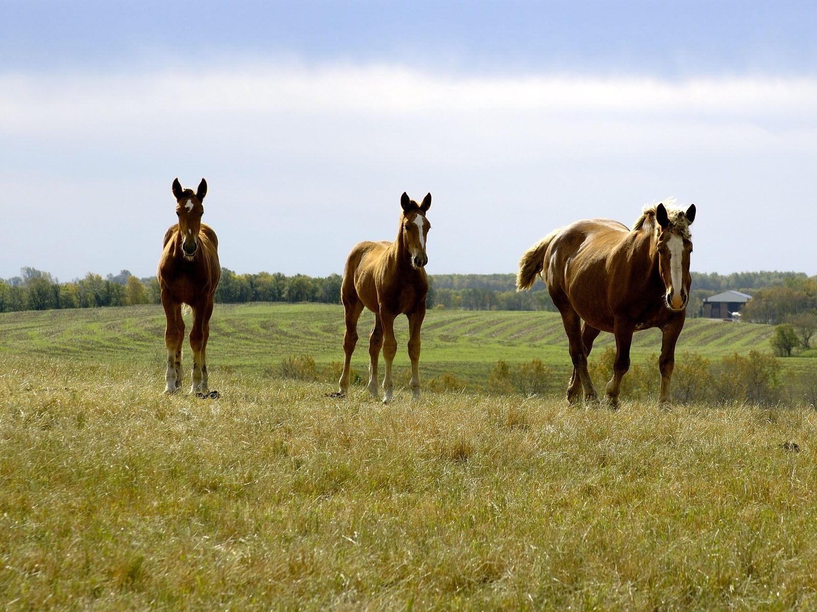 455 download wallpaper Animals, Grass, Sky, Horses screensavers and pictures for free