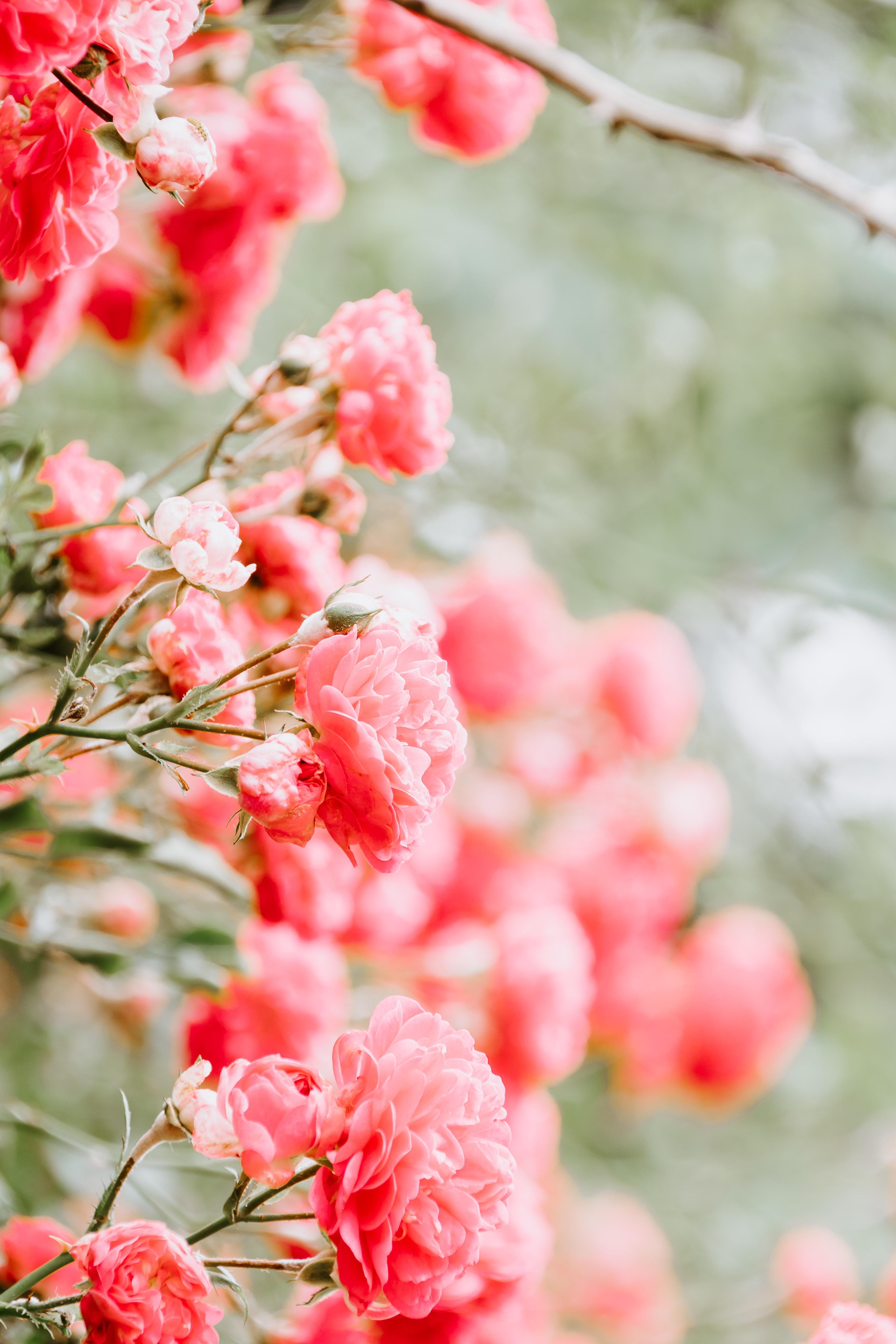 103029 Hintergrundbild herunterladen Blumen, Roses, Rosa, Bush, Unschärfe, Glatt, Busch, Knospen - Bildschirmschoner und Bilder kostenlos