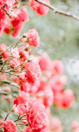 103029 завантажити шпалери Квіти, Бутони, Бутонів, Кущ, Розмитість, Гладкою, Рожевий, Рози - заставки і картинки безкоштовно