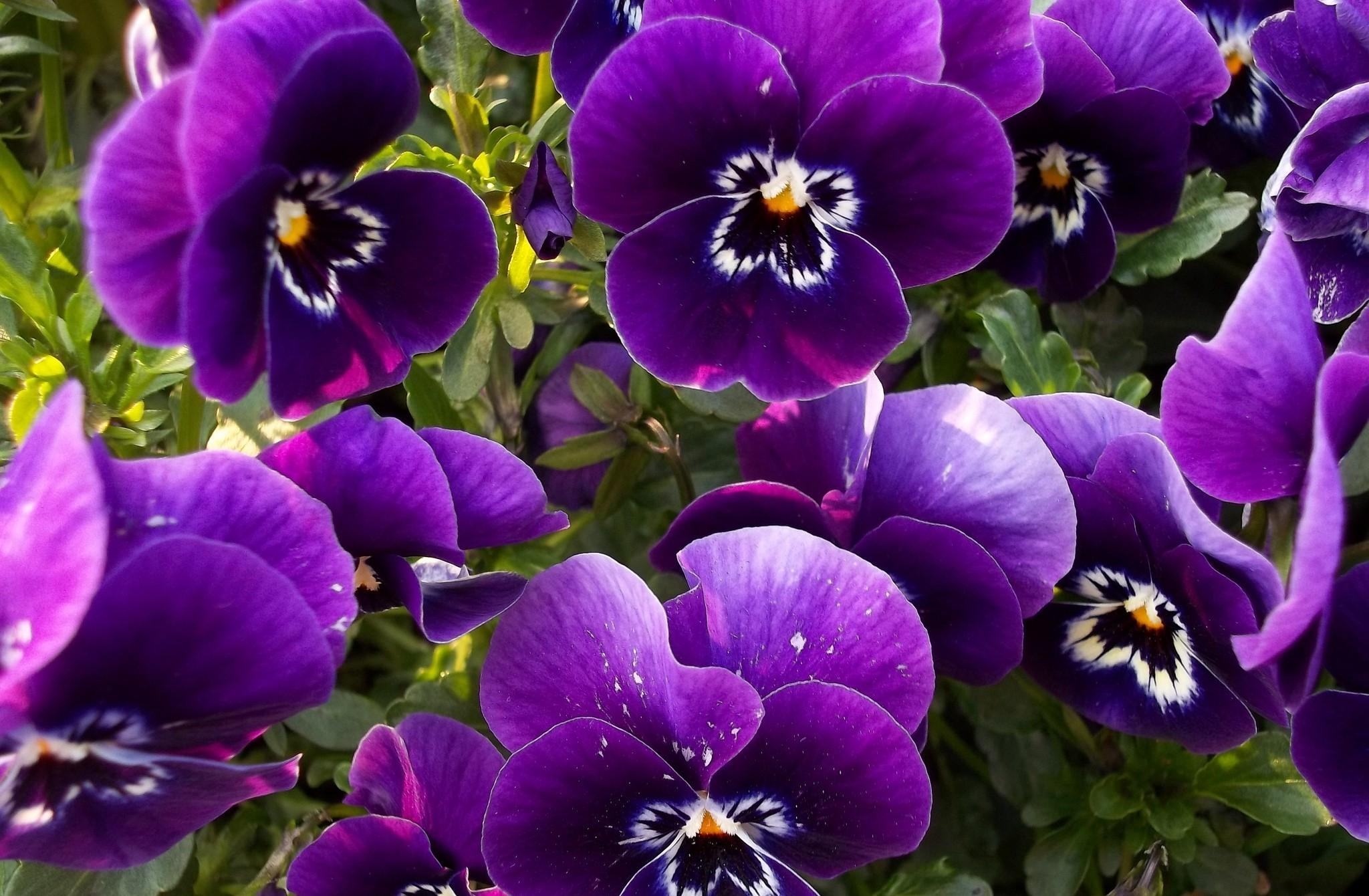 101937 скачать обои Цветы, Анютины Глазки, Клумба, Крупный План - заставки и картинки бесплатно