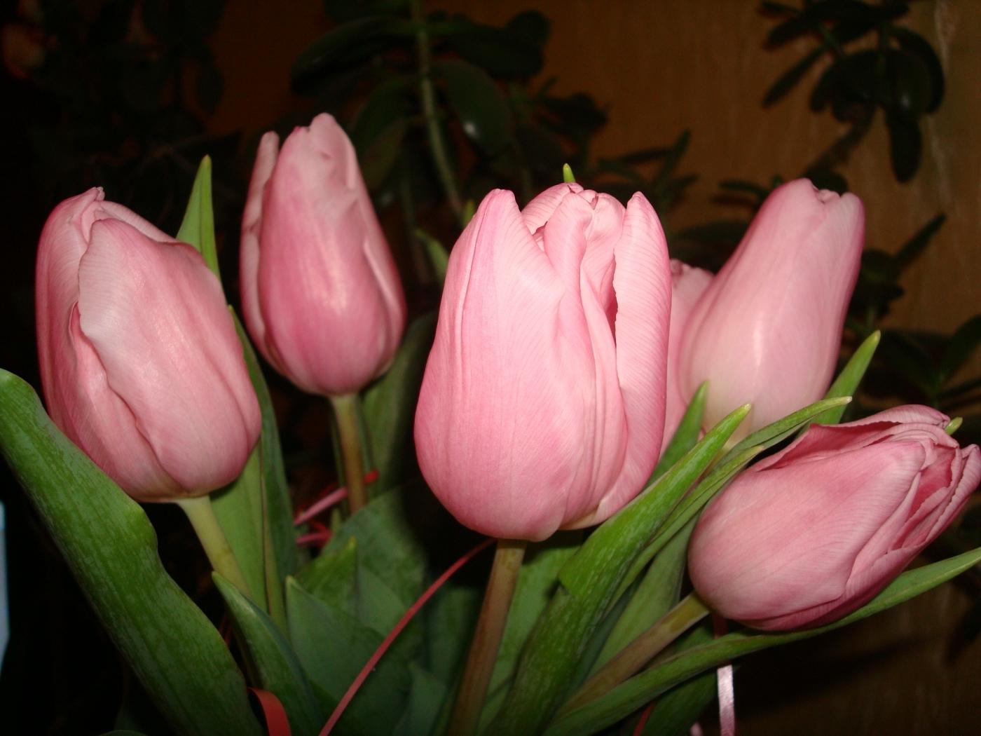 49685 скачать обои Растения, Цветы, Тюльпаны - заставки и картинки бесплатно
