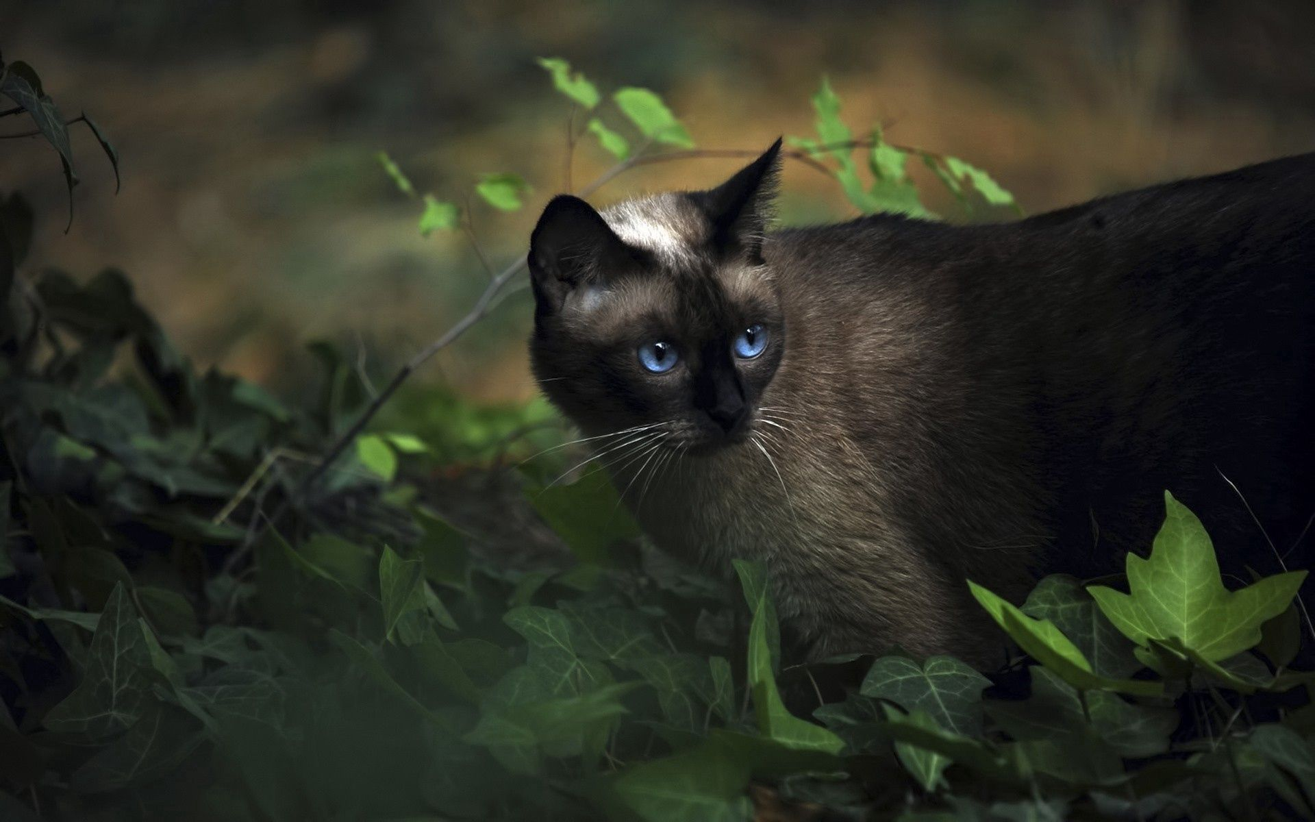61518 download wallpaper Animals, Cat, Siamese, Grass, Blue Eyed, Blue-Eyed, Shadow screensavers and pictures for free