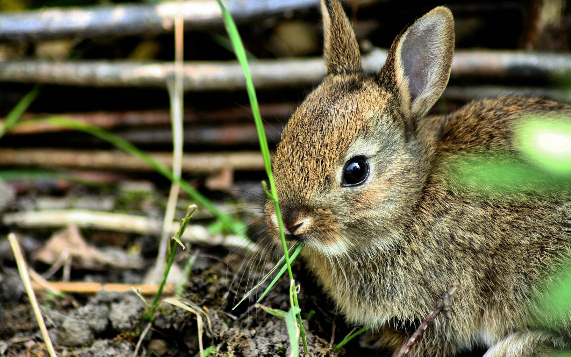 31152 download wallpaper Animals, Rabbits screensavers and pictures for free