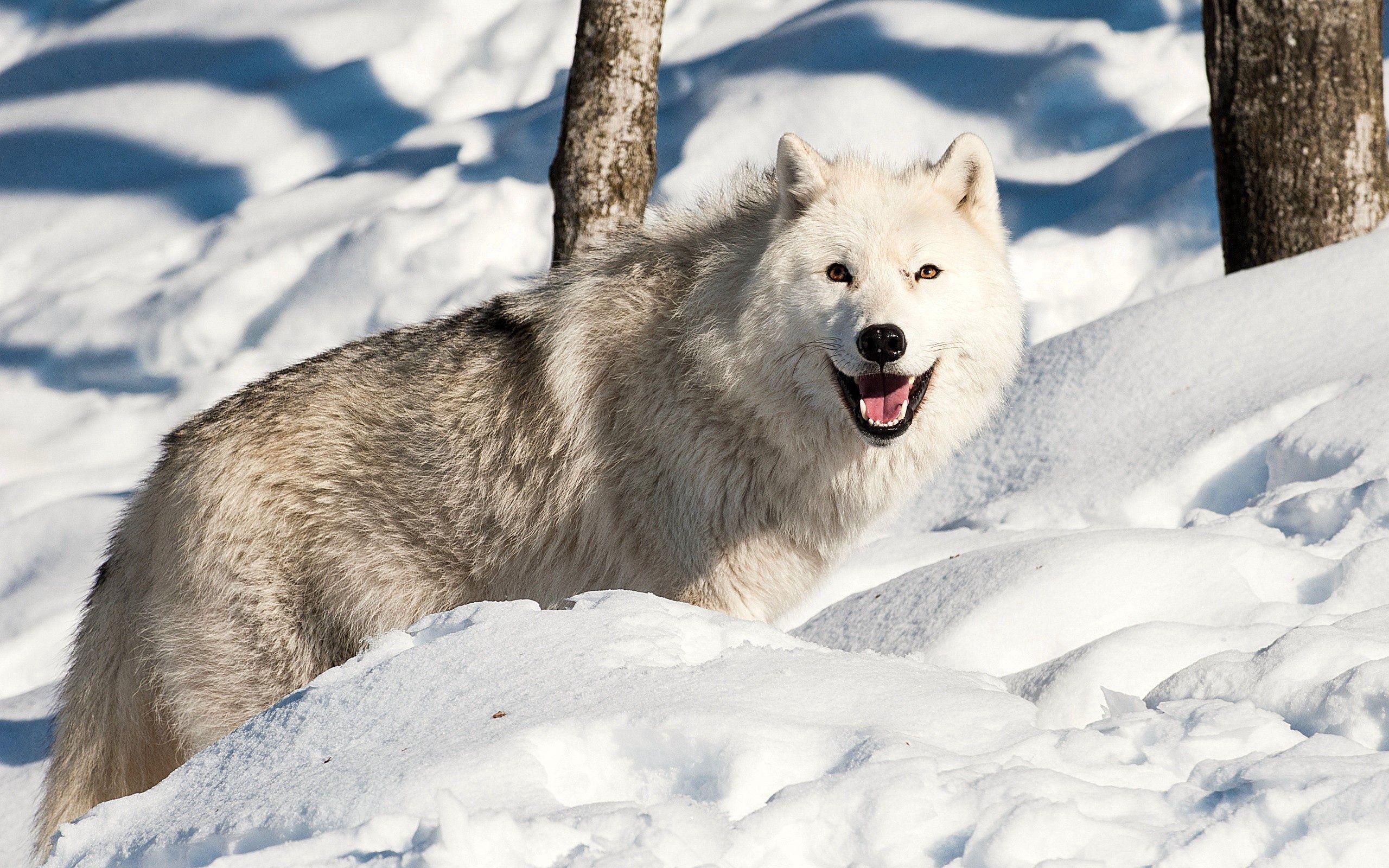 133043 Hintergrundbild 128x160 kostenlos auf deinem Handy, lade Bilder Tiere, Winterreifen, Schnee, Hund, Wolf 128x160 auf dein Handy herunter
