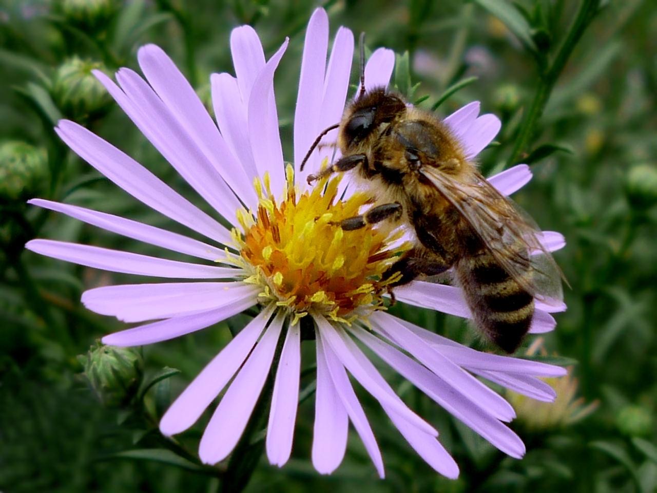 827 Hintergrundbild herunterladen Bienen, Insekten, Pflanzen, Blumen - Bildschirmschoner und Bilder kostenlos
