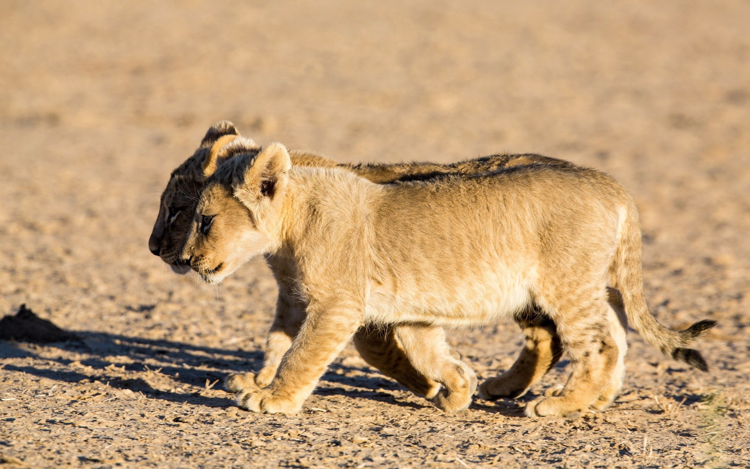 151940 download wallpaper Animals, Cubs, Young, Stroll, Couple, Pair, Shadow, Lions screensavers and pictures for free