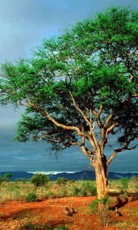 23717 скачать обои Пейзаж, Деревья, Саванна - заставки и картинки бесплатно