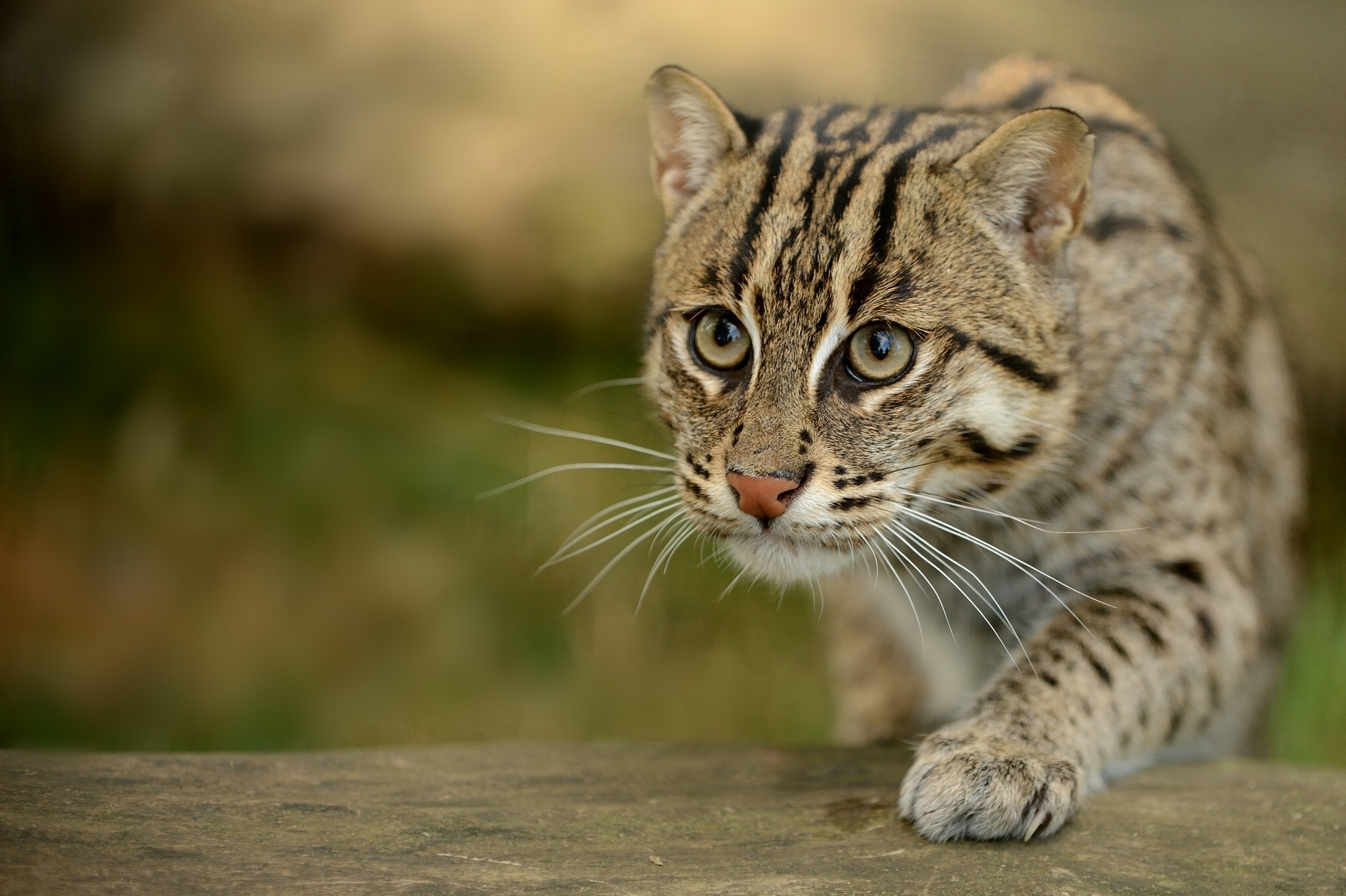 71795 download wallpaper Animals, Fishing Cat, Fish Cat, Wild Cat, Wildcat, Paw, Muzzle screensavers and pictures for free