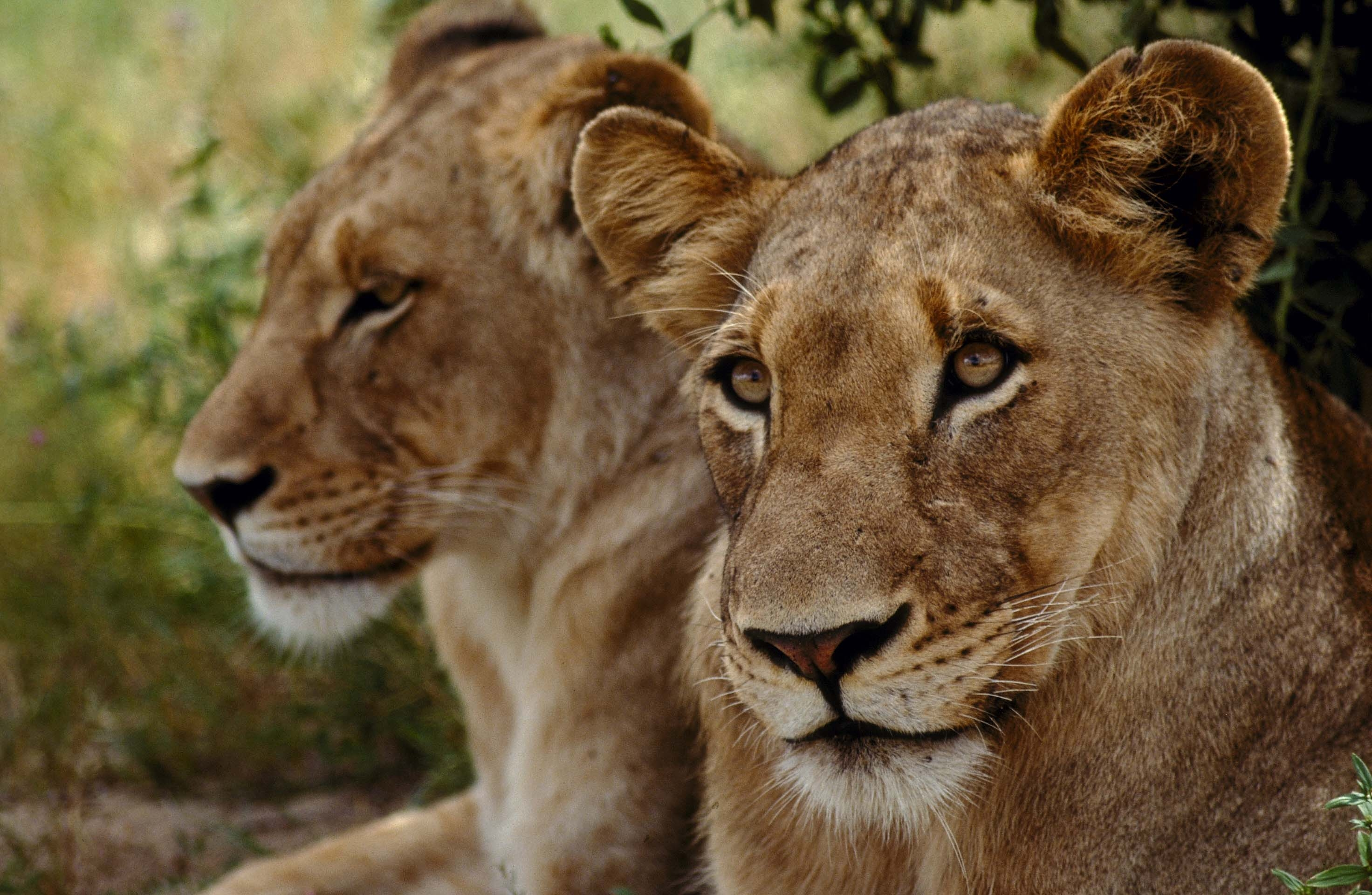 74664 download wallpaper Animals, Muzzle, Couple, Pair, Predator, Lions screensavers and pictures for free