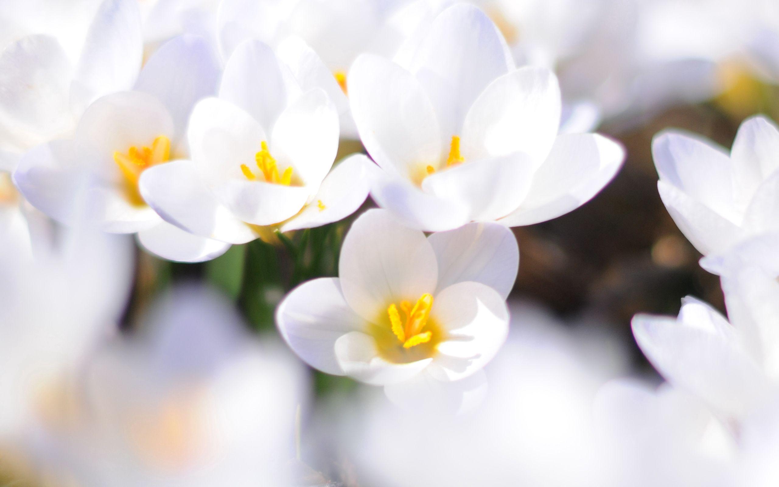 152705 скачать Белые обои на телефон бесплатно, Весна, Цветы, Крупный План, Настроение, Крокусы Белые картинки и заставки на мобильный