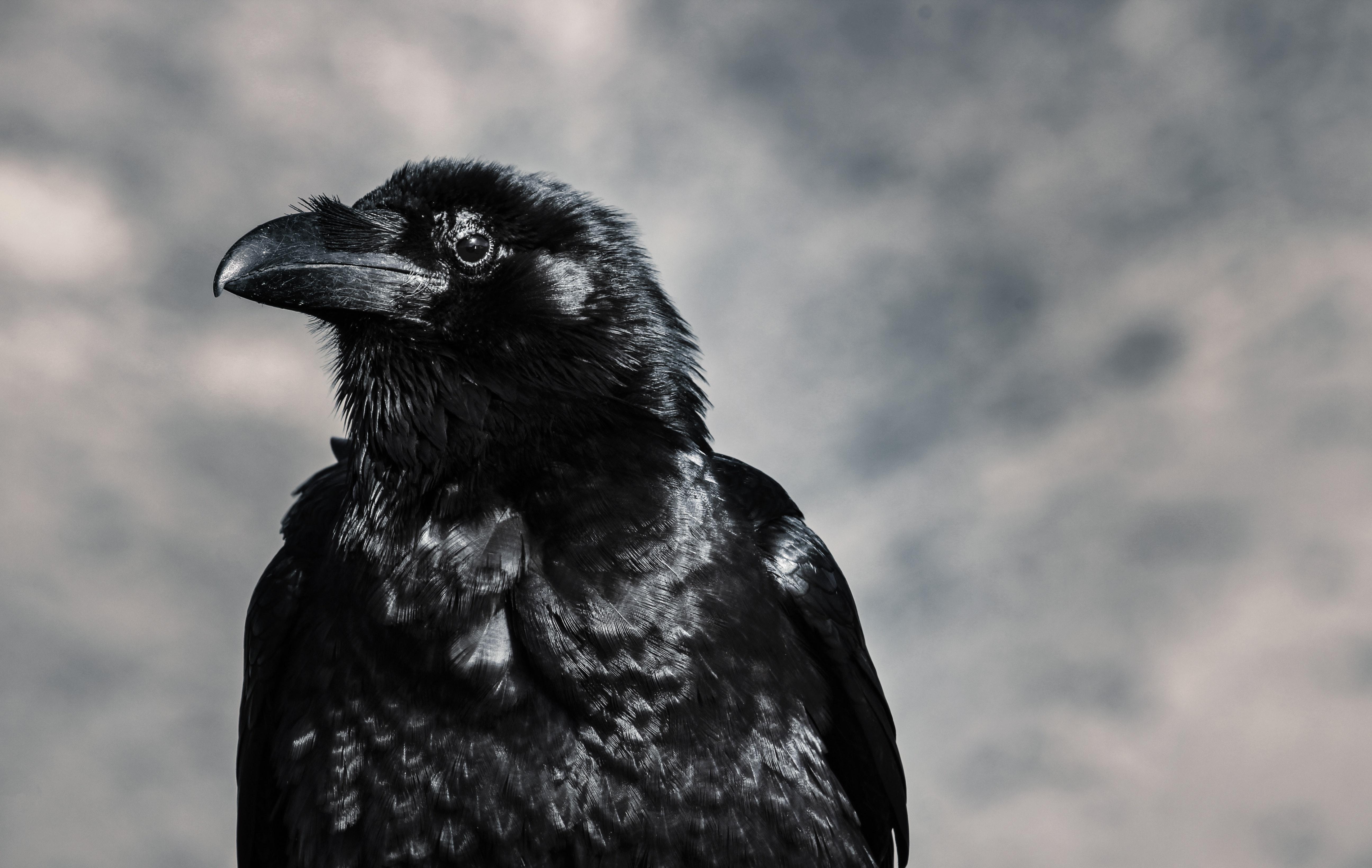 139923 Hintergrundbild 1024x600 kostenlos auf deinem Handy, lade Bilder Tiere, Vogel, Schnabel, Das Schwarze, Rabe 1024x600 auf dein Handy herunter