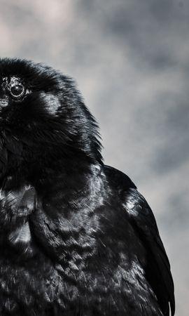 139923 download wallpaper Animals, Raven, Bird, Beak screensavers and pictures for free