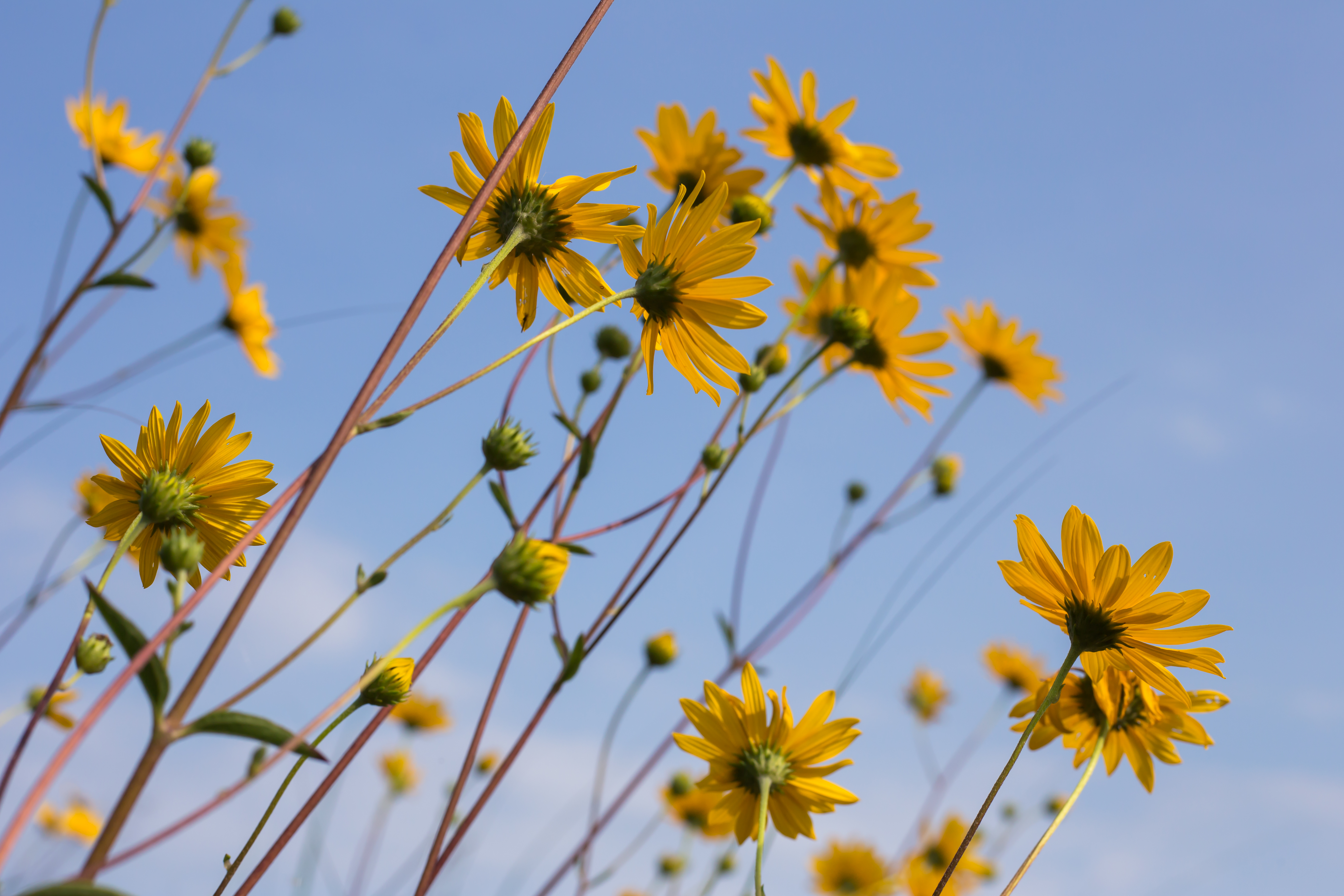 58342 download wallpaper Flowers, Chamomile, Camomile, Wildflowers screensavers and pictures for free