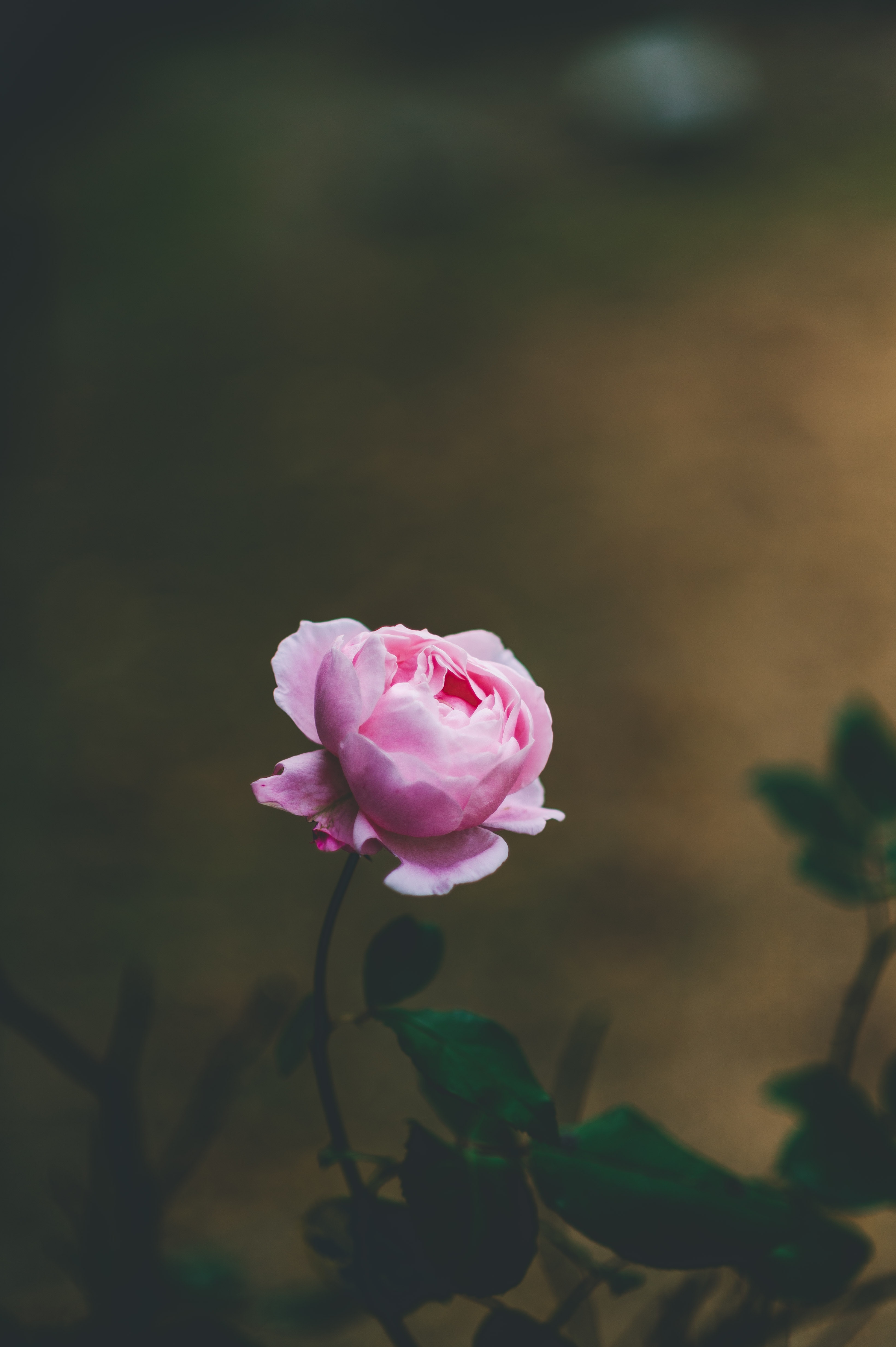 129857 Screensavers and Wallpapers Beautiful for phone. Download Flowers, Flower, Rose Flower, Rose, Beautiful, Tender, Blooms, Light Pink pictures for free