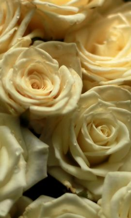 43237 télécharger le fond d'écran Plantes, Fleurs, Roses - économiseurs d'écran et images gratuitement