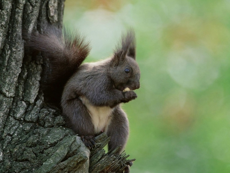 39684 download wallpaper Animals, Squirrel screensavers and pictures for free