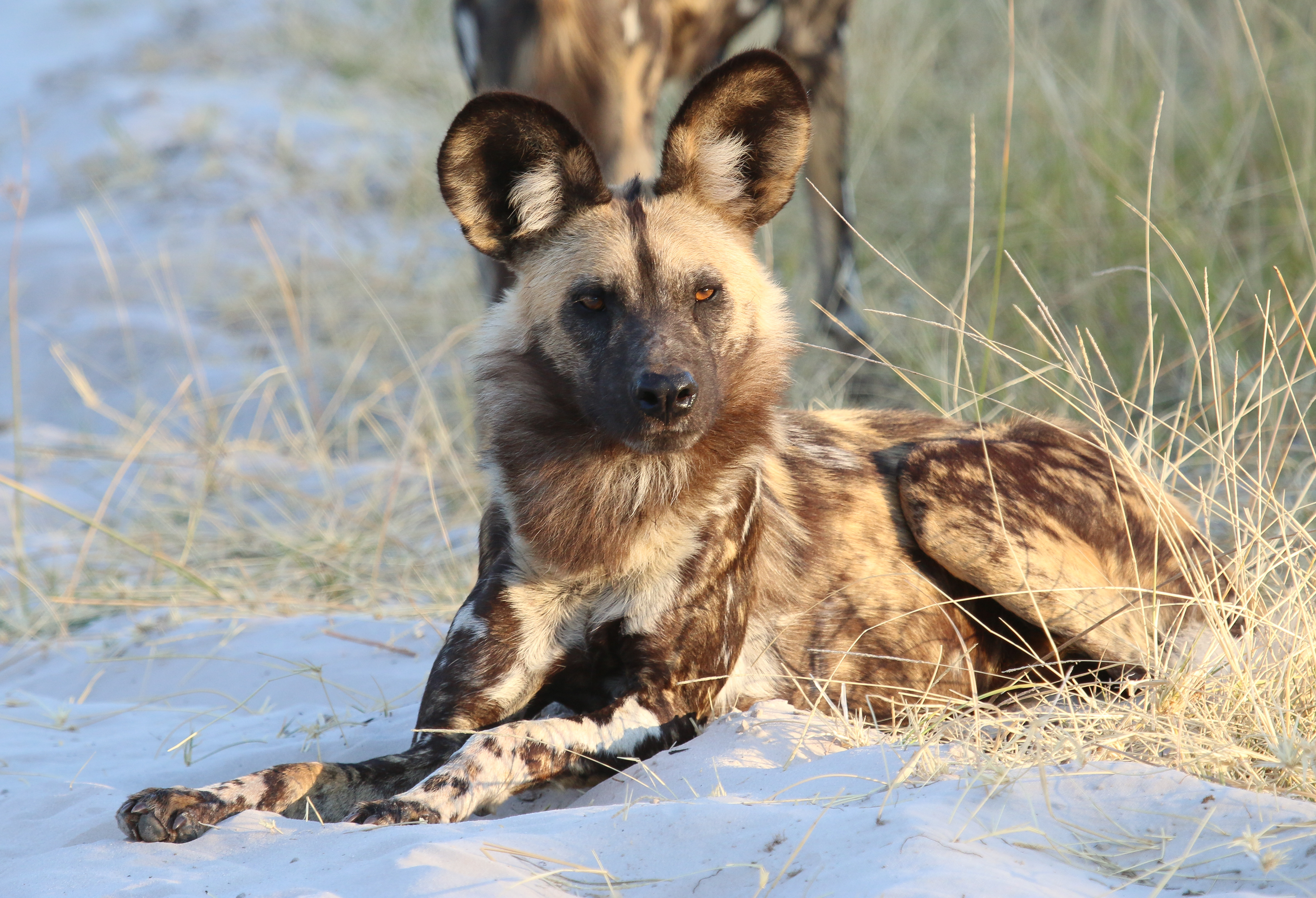 139528 download wallpaper Animals, Hyena, Predator, Animal screensavers and pictures for free