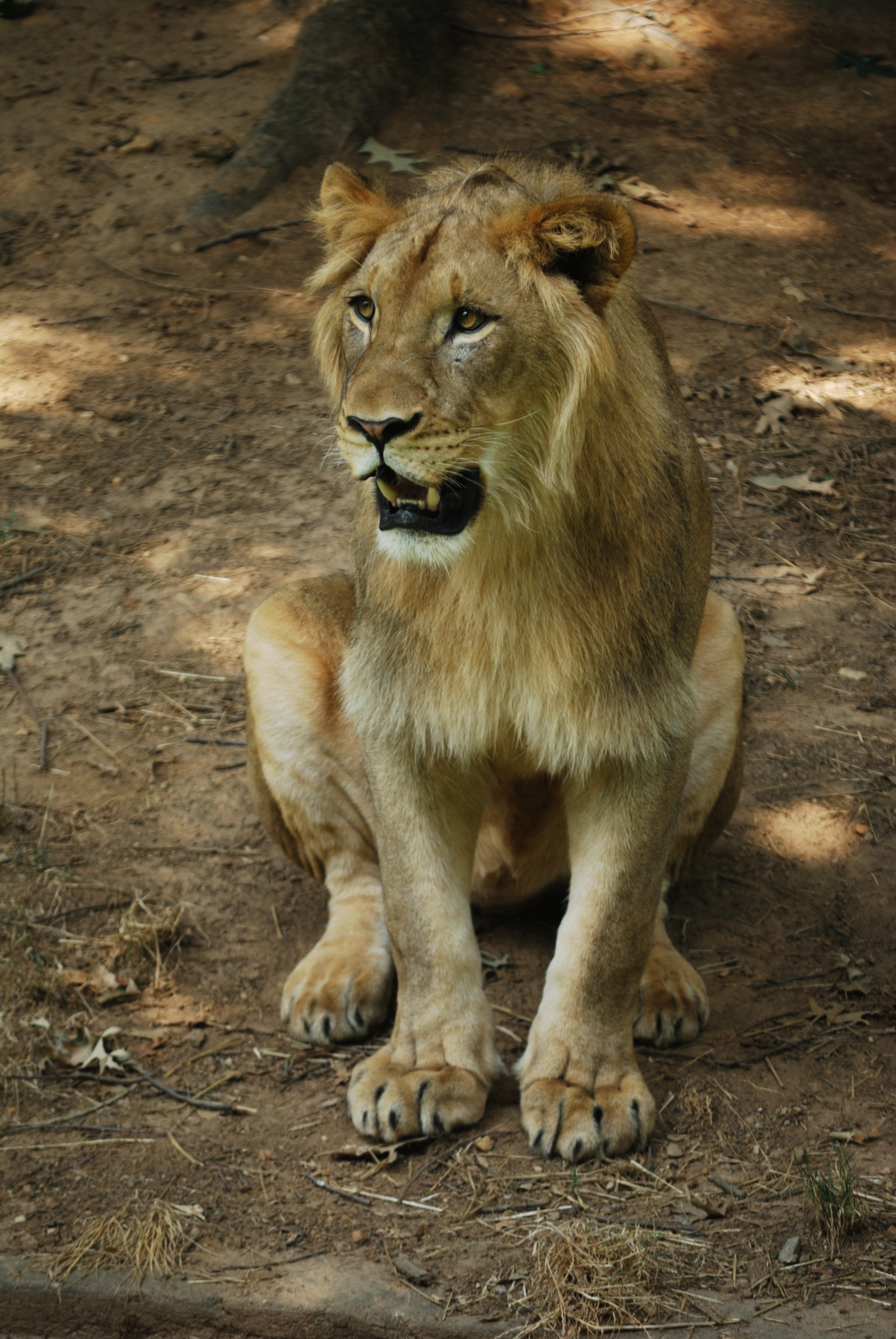 50598 download wallpaper Animals, Lion, Mane, Fangs, Predator screensavers and pictures for free