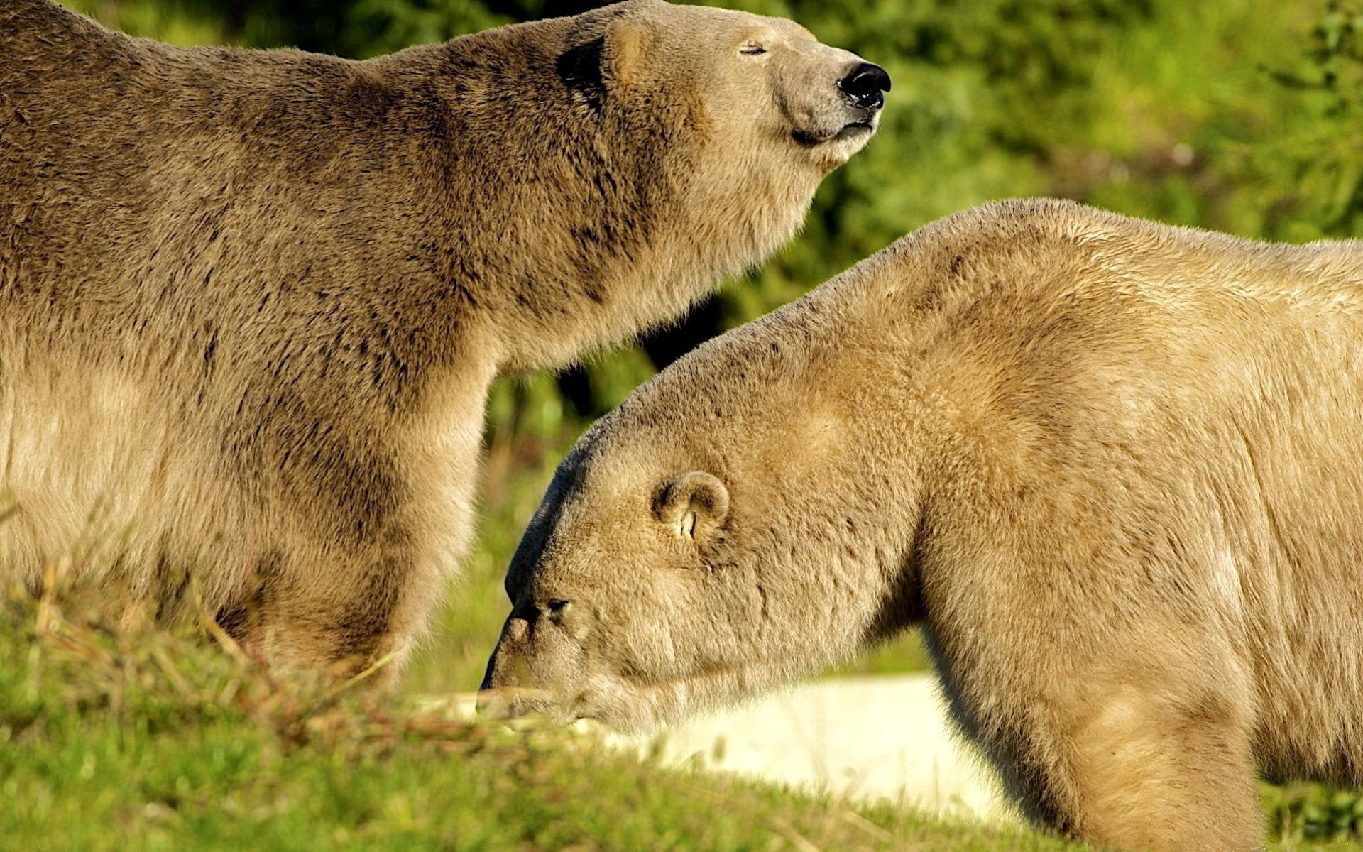 114553 download wallpaper Animals, Bears, Couple, Pair, Grass, Stroll, Sunlight screensavers and pictures for free
