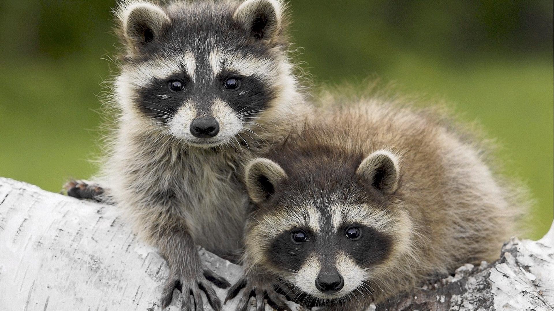 34217 Hintergrundbild herunterladen Tiere, Waschbären - Bildschirmschoner und Bilder kostenlos