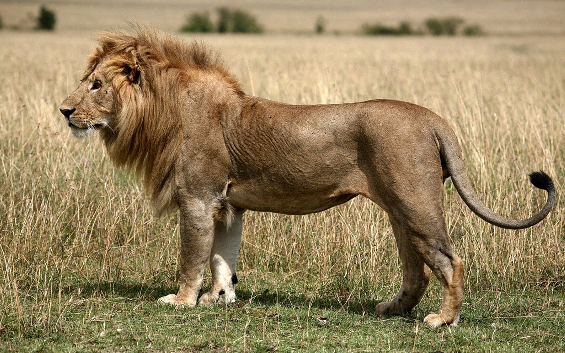 154077 download wallpaper Animals, Lion, Field, Grass, King Of Beasts, King Of The Beasts screensavers and pictures for free