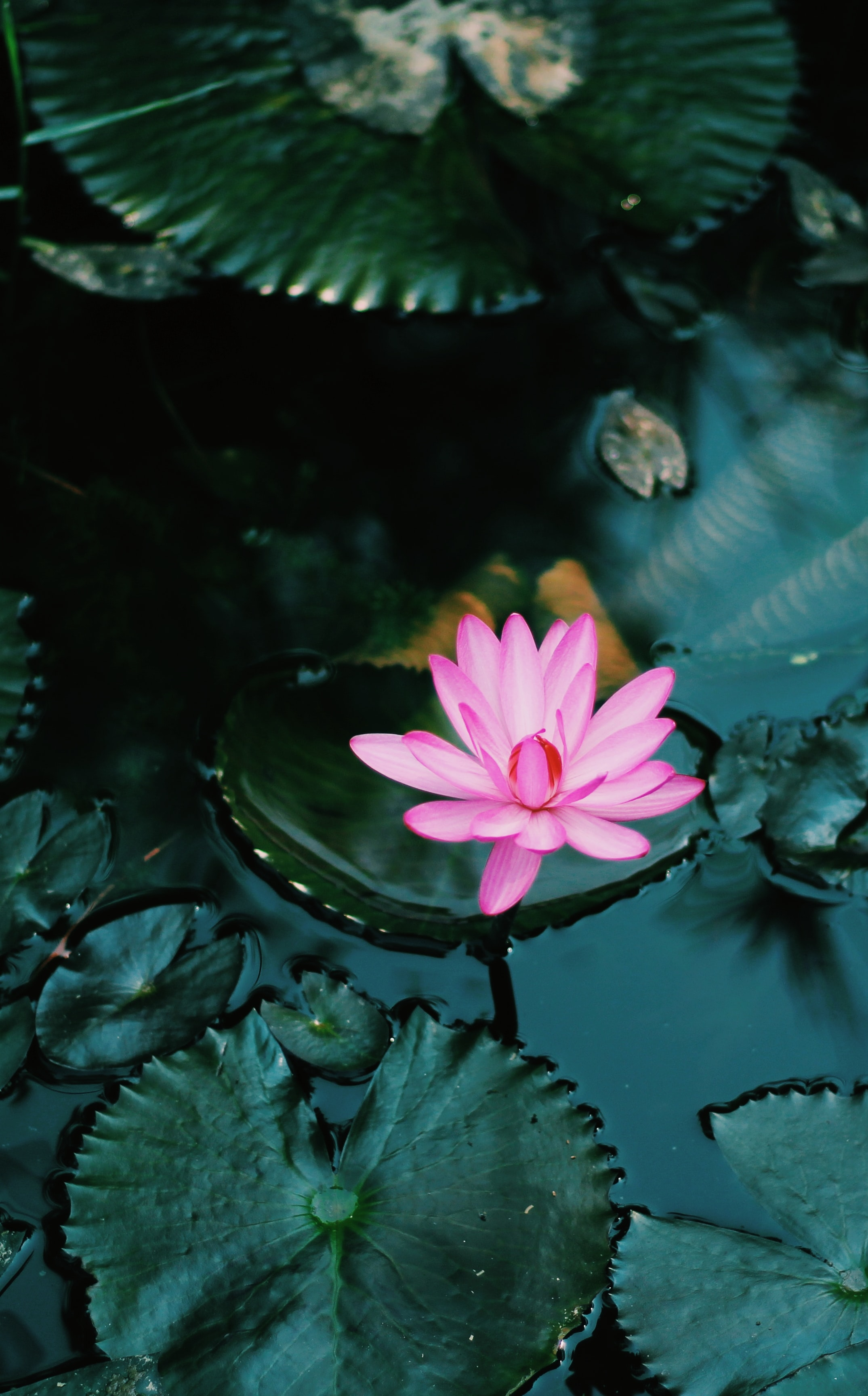 91464 Hintergrundbild herunterladen Blumen, Wasser, Rosa, Lotus, Blume, Pflanze - Bildschirmschoner und Bilder kostenlos