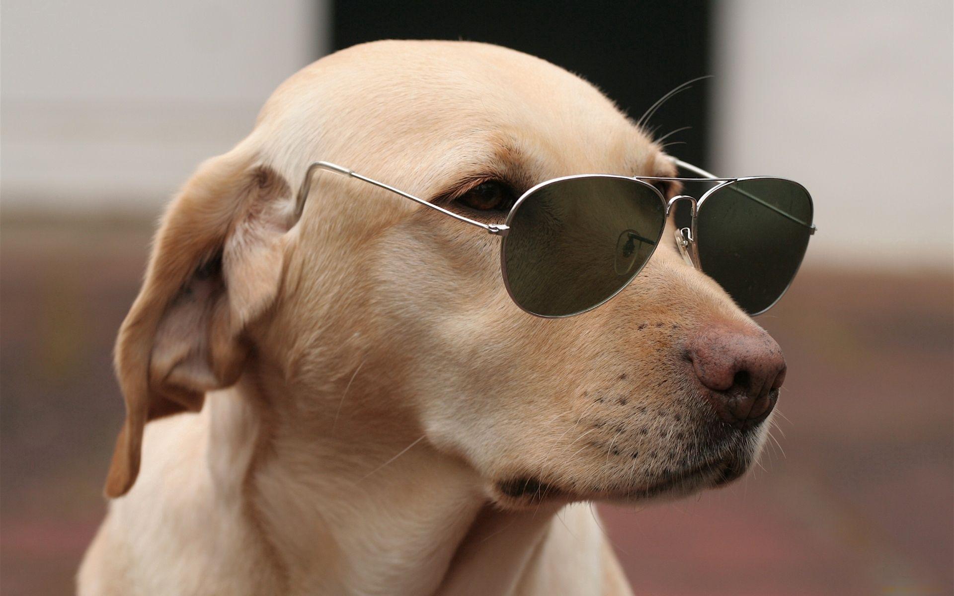 89773 скачать обои Животные, Собака, Морда, Очки, Модный - заставки и картинки бесплатно